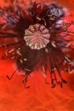 Imagen roja de la macro de la amapola foto de archivo