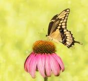 Imagen soñadora de una mariposa gigante de Swallowtail Fotos de archivo libres de regalías
