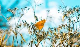 Imagen soñadora, suave del foco de una mariposa amarilla que se sienta en las plantas secas con un fondo cremoso del trullo Conce imagenes de archivo
