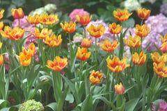 Imagen suave amarillo-naranja de los tulipanes Fotografía de archivo