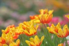Imagen suave amarillo-naranja de los tulipanes Fotos de archivo