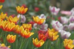 Imagen suave amarillo-naranja de los tulipanes Foto de archivo libre de regalías