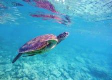 Imagen subacuática de la tortuga de mar para la plantilla de la bandera con el lugar del texto Fotografía de archivo