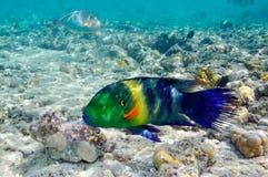 Imagen subacuática de pescados tropicales Imagen de archivo