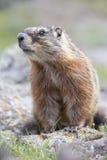 Imagen vertical de la marmota en valle alpino Fotos de archivo libres de regalías