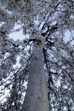 Imagen vertical de un cerezo que llora que florece en primavera foto de archivo