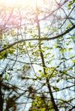 Imagen vertical del follaje temprano de la primavera del borrachín Fotos de archivo libres de regalías