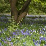 Imagen vibrante imponente del paisaje del bosque del blubell en cou inglés Imágenes de archivo libres de regalías