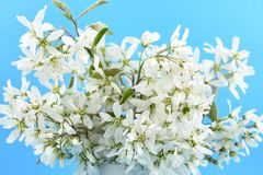 Imagens brancas do estoque da flor da mola Imagem de Stock