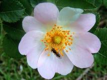 Imagens da flor do Rosehip para locais de plantas ervais Fotos de Stock
