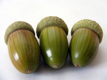 Imagens da palma natural a mais bonita do carvalho Imagens de Stock