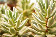 Imagens de fundo borradas das plantas carnudas, macro imagens de stock