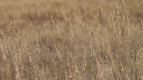 Imagens de vídeo da areia e da pastagem que fundem no vento na região de kalahari de África do Sul vídeos de arquivo