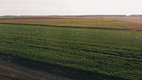 Imagens de vídeo 4K aéreas de cultivo industriais: Irrigação do campo no verão Tiro do zangão, agricultura no alvorecer no verão video estoque