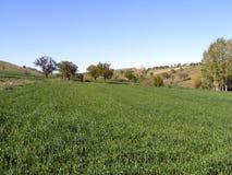 Imagens do campo de IWheat para sites do cereal Imagem de Stock Royalty Free