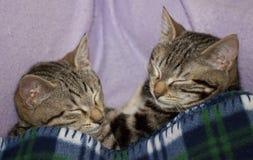 Imagens dos gatos Fotografia de Stock Royalty Free