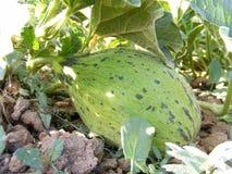 Imagens imaturas do melão no campo para anúncios publicitários de produtores do fruto Imagens de Stock