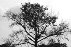 Imagens preto e branco, árvores grandes, imagens de stock royalty free