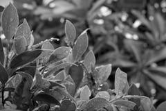 Imagens preto e branco das folhas após a chuva fotografia de stock