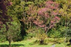 Cherry blossom Thai sakura atorchidagriculture , ChaingMai, Thailand. Royalty Free Stock Images