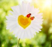 Images des deux coccinelles sur la camomille sous forme de coeur dedans Photos libres de droits