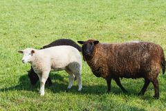 Mother sheep with tow lambs feeding on green pasture royalty free stock images
