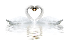 Images of two swans on lake. Images of two white swans on lake royalty free stock photo