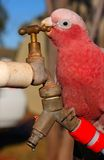 Intelligent parrot opens faucet Stock Photo