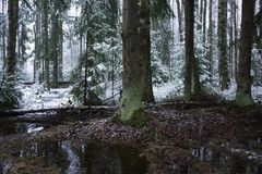 Snow falls in the forest with trees. Intense snow instantly covers the surface of the forest and tree branches with a layer of sno. W. Details and close-up of stock photography