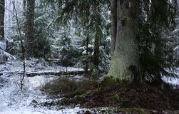 Snow falls in the forest with trees. Intense snow instantly covers the surface of the forest and tree branches with a layer of sno. W. Details and close-up of royalty free stock photos