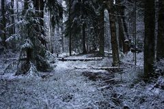 Snow falls in the forest with trees. Intense snow instantly covers the surface of the forest and tree branches with a layer of sno. W. Details and close-up of royalty free stock photo