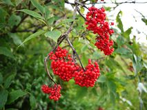 The berries of the viburnum tree. The fruits of viburnum appeared in the summer. Details and close-up. The berries of the viburnum tree. The fruits of viburnum stock photo