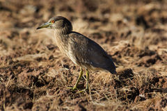 Imature Black Crowned Night Heron Royalty Free Stock Photography