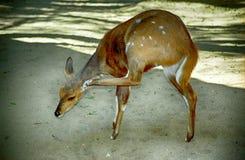 Imbabala bushbuck, Mkhaya Game Reserve, Swaziland Stock Image