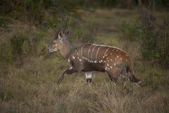 Imbabala (Bushbuck) na bieg przy półmrokiem Fotografia Stock
