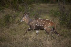 Imbabala (Bushbuck) on the Run at dusk. This beautiful rust colored male antelope with bushy tail, white stripes and spots and twisted, spiral horns, seen here stock photography