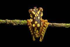 Imbabura Treefrog. (Hypsiboas pictuator),  Choco rainforest,  Ecuador Stock Image