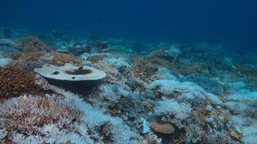 Imbianchimento di corallo Immagini Stock