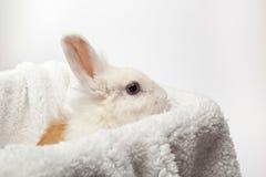Imbir i biały puszysty królik Obraz Royalty Free