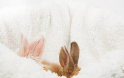 Imbir i biały puszysty królik Fotografia Royalty Free