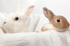 Imbir i biali puszyści króliki Fotografia Stock