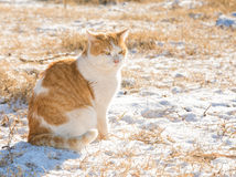 Imbir i bielu przybłąkany kot w śniegu na zimnym zima dniu Obraz Stock