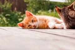 Imbirowa figlarka odpoczywa na tarasie Fotografia Stock