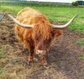 Imbirowa krowa Zdjęcia Royalty Free