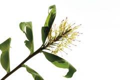 Imbirowa leluja (Hedychium spicatum) zdjęcie stock