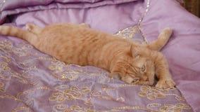 Imbirowi Brytyjscy kot zdjęcie wideo