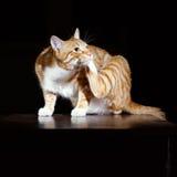 Imbirowi kotów obmycia na czarnym tle Zdjęcia Royalty Free