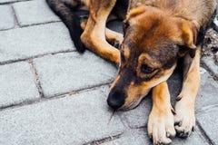 Imbirowy bezdomny pies z przykrością patrzeje w dół Stawia jego głowę na jego łapie obrazy stock