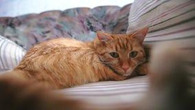 Imbirowy Czerwony kot zbiory