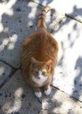 Imbirowy domowy kot Obrazy Royalty Free